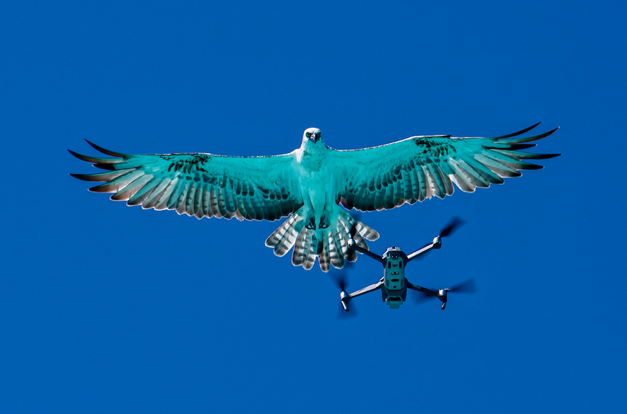 Eagle and a drone