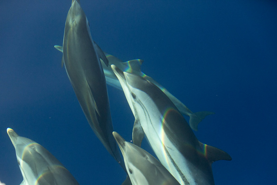 Dolphins in the Balearics - Save the Med