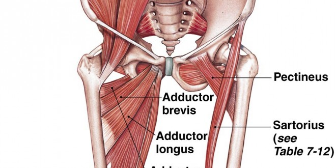 The Iliopsoas Muscles – The Islander