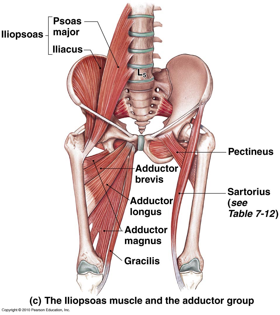 Image result for iliopsoas and psoas muscle