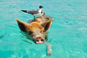 swimming pig with seagull